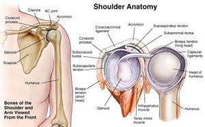 shoulder-anatomy