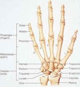 wrist & hand bones