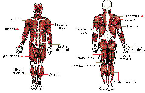 UPPER BODY MUSCLES